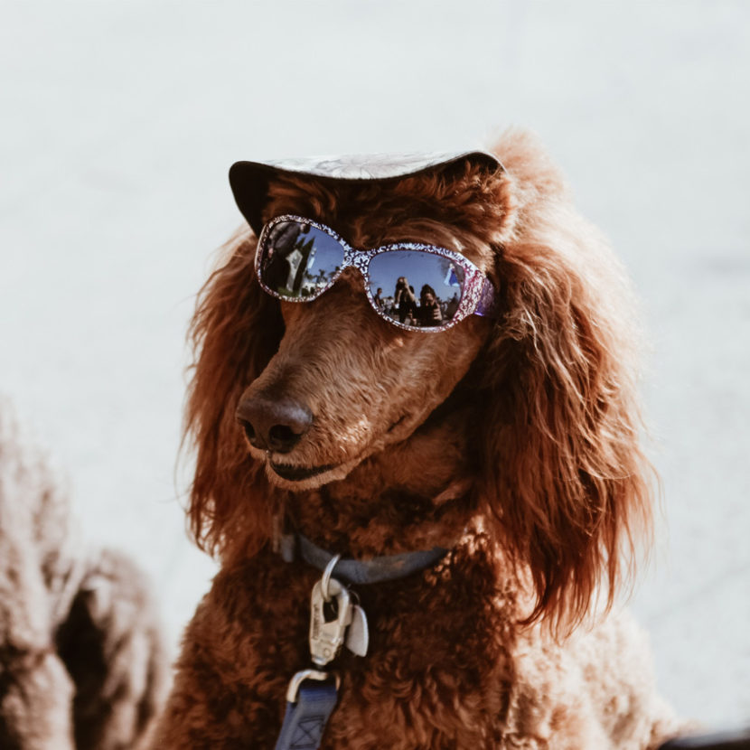 Chien avec des lunettes de soleil